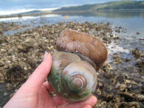 Moon Snail on wintry low tide