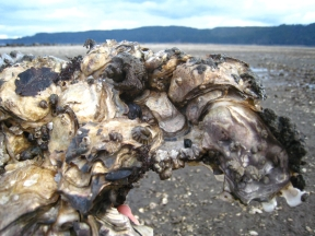 Oyster Cluster
