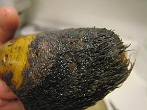 horse-mussel2