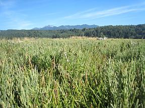 salicornia2