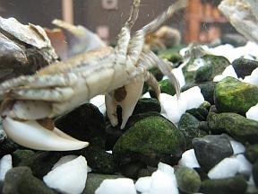 crabpaws1